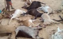 Louga: une meute de chiens décime un troupeau de chèvre à Leona