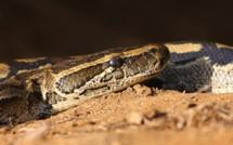 Linguère : des attaques d'un serpent hantent les habitants de Barkédji