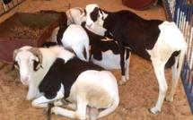 Tabaski: dons de moutons, ce dimanche