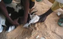 Tabaski : comment égorger son mouton conformément à la recommandation divine ?