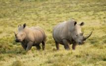 Afrique du Sud: un stock d'ivoire et de cornes de rhinocéros illégal rapatrié par les autorités