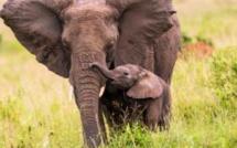 Un accord de coopération internationale pour lutter contre le trafic d'ivoire