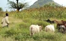 Enquête sur les conflits agriculteurs-éleveurs: La cause des véritables problèmes de l'agro-sylvo-pastorale au sénégal