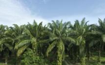 Sierra Leone: tension autour d'une plantation d'huile de palme