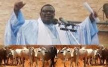 Le coup de force de Cheikh Béthio au Magal: bœufs, chameaux et buffle par milliers
