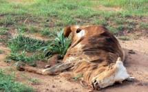 Madagascar: pourquoi les dahalos volent-ils des zébus?
