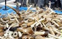 Commerce illégal : 3 trafiquants arrêtés avec une grande quantité d'ivoire