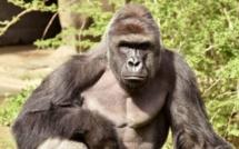 Centrafrique : un gorille abattu