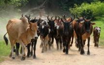 Vol de bétail dans le Balantacounda : Les éleveurs en rogne veulent se faire justice